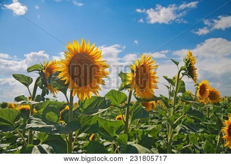 Field Of Sunflowers On A Background Of The Sky With Clouds