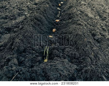 Potatoes With Shoots In The Soil. Planting Potatoes In A Row. Perspective. Background For An Inscrip