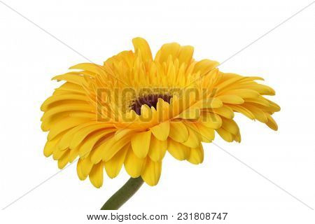 Yellow gerbera flower isolated on white.