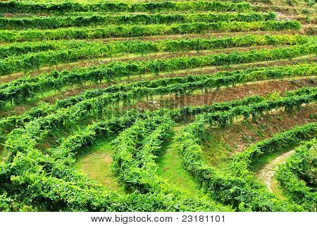 Vineyard Of Alvarino Wine, Minho, Portugal.