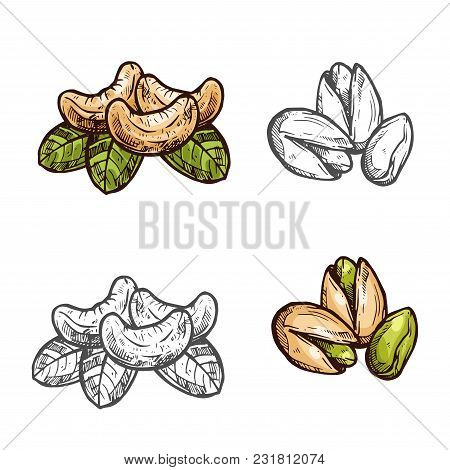 Cashew And Pistachio Nuts Fruits Sketch Icon. Vector Isolated Cashew And Pistachio Peeled And Whole