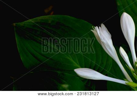 Natural Background In Dark Tones Flowers Hosts And Leaves Close-up
