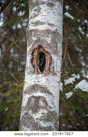 Old Tree With Holes For Birds To Live In And Fir