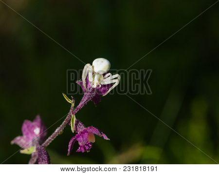 White Flower Crab Spider On Purple Orchid Macro Portrait, Selective Focus, Shallow Dof.