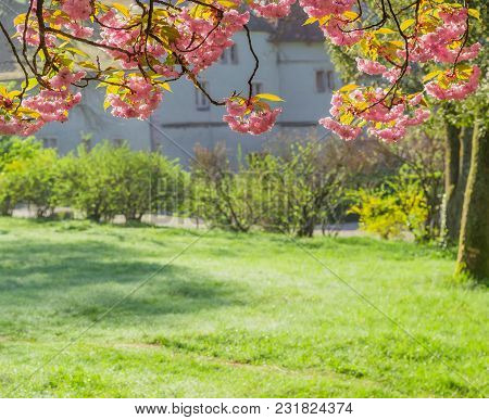 Branches Of Pink Cherry Blossom, Also Known As Sakura Or Japanese Cherry, Dangling Above Glade At Se
