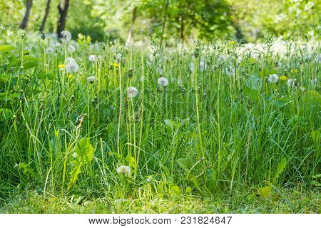 Glade, Covered Tall Grass Mixed With Ripe Dandelions With Downy Seed Heads Closeup. View From Low Po