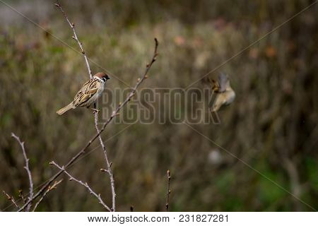 Sparrow On Branch Of Bushes With Blurred Background