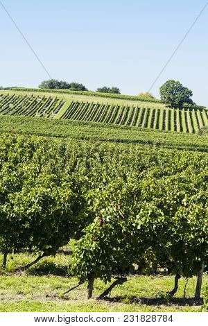 Industrial Growth Of Grapes In France. French Wine Farm Surrounded With Beautiful Rows Of Vineyards