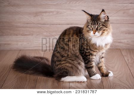 Maine Coon Cat On Wooden Floor In Bedroom. Background With Copy Space. Adorable Cat Background.