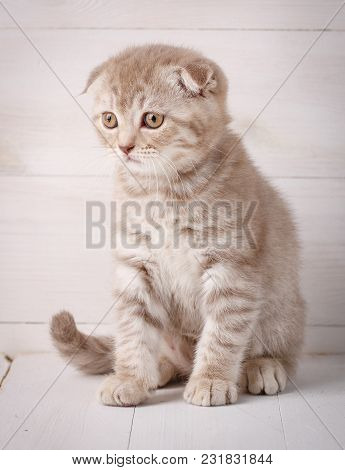 Red Scottish Kitten Portrait. Cat At Home. Scottish Fold Cat. Siting Cat