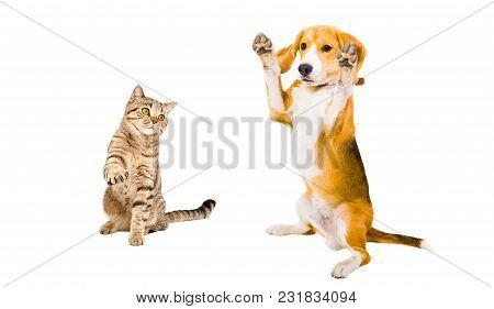 Playful Cat Scottish Straight And Beagle Dog With Raised Paws, Isolated On White Background