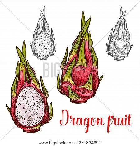 Dragon Fruit Pitaya Fruit Sketch Icon. Vector Isolated Symbol Of Fresh Whole Of Exotic Tropical Drag