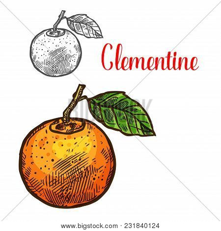 Clementine Citrus Fruit Sketch Icon. Vector Isolated Symbol Of Fresh Whole Mandarin Or Tangerine Ora