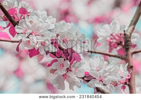 Flowering Branches Of Apple Tree In A Spring Orchard, Close-up. Photo Toned, Selective Focus