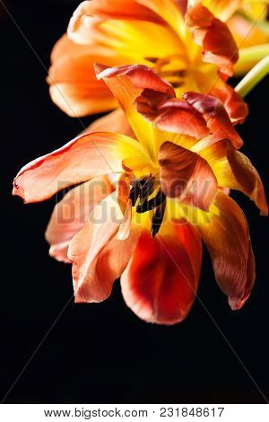 Faded Red Tulips On Black Background In Spotlight