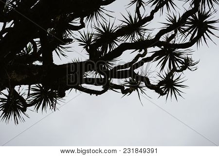 Silhouette Of Dragon Tree Crone On Grey Sky Background. Santo Antao, Cape Verde Cabo Verde. Contrast