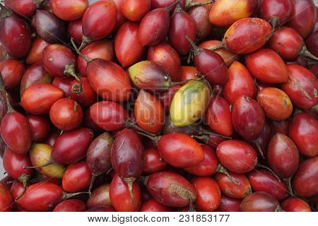 Tamarillo Harvest From Dieng Plateau, Wonosobo, Central Java, Indonesia. Tamarillo, Also Known As A