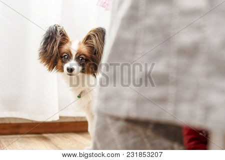 Very Cute Young Dog Papillon With Big Beautiful Ears Anxiously Peeping From Behind The Bed.