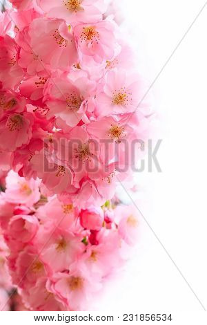 Holiday Card Background With Spring Pink Cherry Blossom, Sakura Flowers Branch And White Copy Space