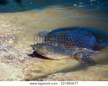 A Large Soft-bodied Turtle - Trionychoidea - Living In The River Alexander In Israel Climbs Out Of T