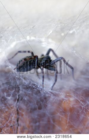 Spider In His Web (Badumna Insignis)