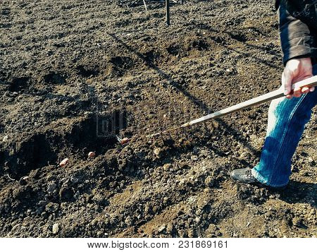 Planting Potatoes In A Row In The Soil. Use The Rake Tool.