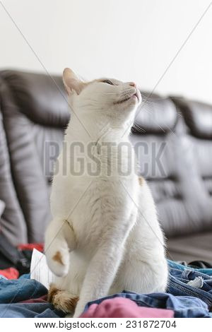 White And Yellow Cat Being Surprised Looking Top.