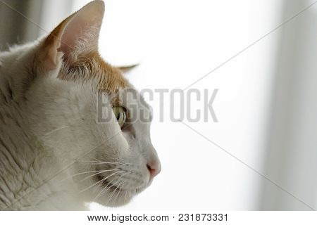 White And Yellow Cat , Side View, Place For Text.