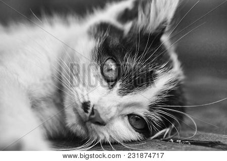 Cute Kitten, Cat Pet, Small Domestic Animal With Yellow Eyes And Furry Coat, Black And White, Lying