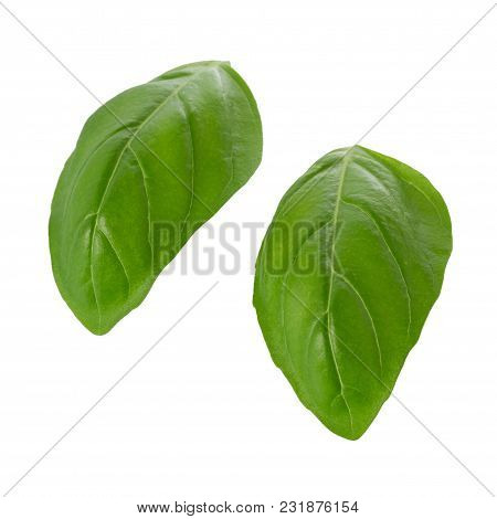 Close Up Of Fresh Green Basil Herb Leaves Isolated On White Background. Sweet Genovese Basil