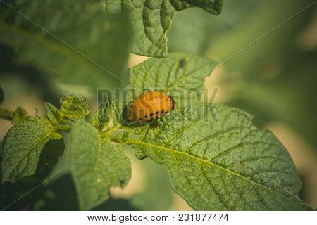 Colorado Beetle Larva On Potato Leaf. Colorado Beetle Larva Eat Potato Leaf