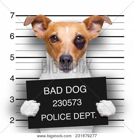 Criminal Mugshot  Of Jack Russell  Dog At Police Station Holding Placard , Isolated On Background