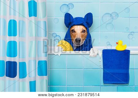 Jack Russell Dog  In A Bathtub Not So Amused About That , With Yellow Plastic Duck And Towel,wearing