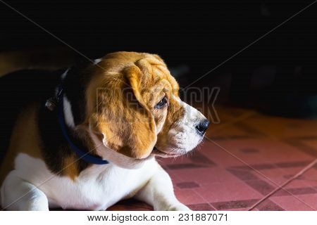 Old Beagle Dog With Sad Eyes And Lonely. Selective Focus. Beagle Is A Small Sturdy Hound Of A Breed