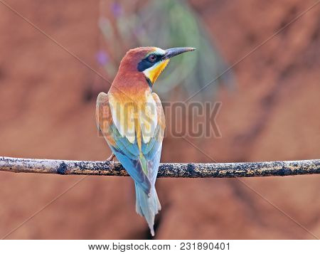 Closeup Beautiful Colorful Birds Bee-eaters Sitting On A Tree Branch, On The Isolated Background