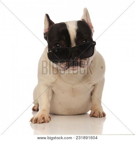 cool french bulldog with sunglasses slipping down the nose sitting on a white background