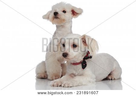 lovely bichon couple looking to the side on a white background, one lying down and the other sitting behind