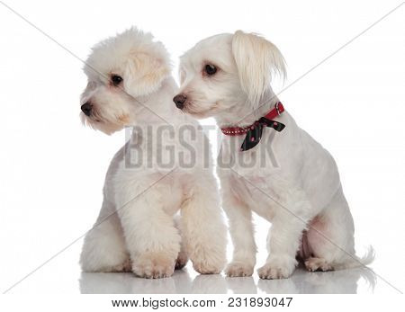 adorable bichon couple looking down to side while sitting on a white background