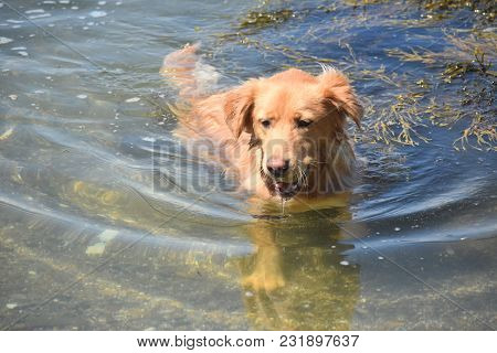 Toller Dog Running Out Of The Water With A Ball