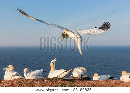 Northern Gannets Building A Nest With Kelp At The Cliffs Of German Island Helgoland In The Northsea