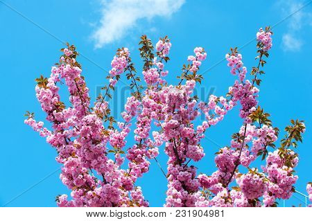 Branches With Cherry Sakura Blossom On Blue Sky. Branches In Pink Bloom On Sunny Spring Day.