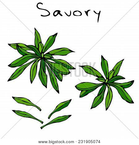 A Brunch Of Savory With Leaves. Savory Springs. Background With Aromatic Herb. Fresh Cooking Ingredi