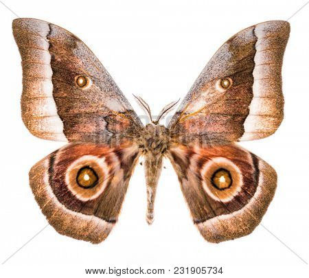 Emperor moth (Gonimbrasia zambesina ) from South Africa. Isolated on white background