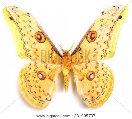 Loepa megacore moth isolated on white background