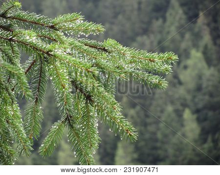 Fir Tree Branches Dripping Water Drops Against Green Background In A Rainy Day