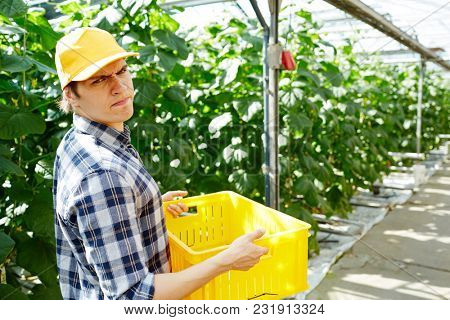 Scowling farmer looking at camera while walking along aisle between growing plants and carrying box with harvest
