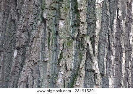 Uneven grey bark of black poplar tree poster
