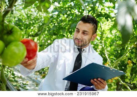 Agroengineer with document looking at red tomato hanging on branch in hothouse