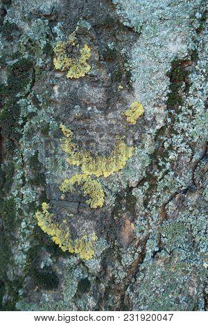 Half Circles Of Lichens On Bark Of Horse Chestnut