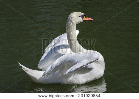 Beautiful White Swan Trying On The Lake, To Fly.